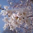 桜(08.3.29)